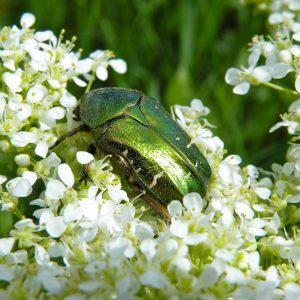 Grüner Käfer im Weinberg