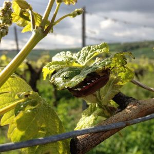 Maikäfer im Weingarten