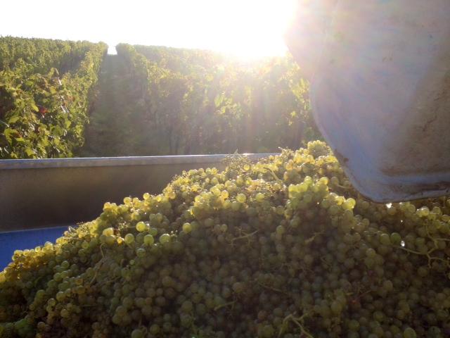 Weinlese 2013 im Wengut Wein von 3 in Franken
