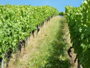Der Weinberg im Juli - Wein von 3 in Franken