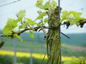 Domina ausbrechen Franken Weinberg - Wein von 3 Zeilitzheim