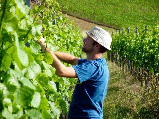 Christian beim Einfädeln der Triebe im Silvaner - Wein von 3 in Franken