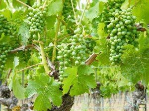 Weintrauben im Juli Weingut Wein von 3 in Franken