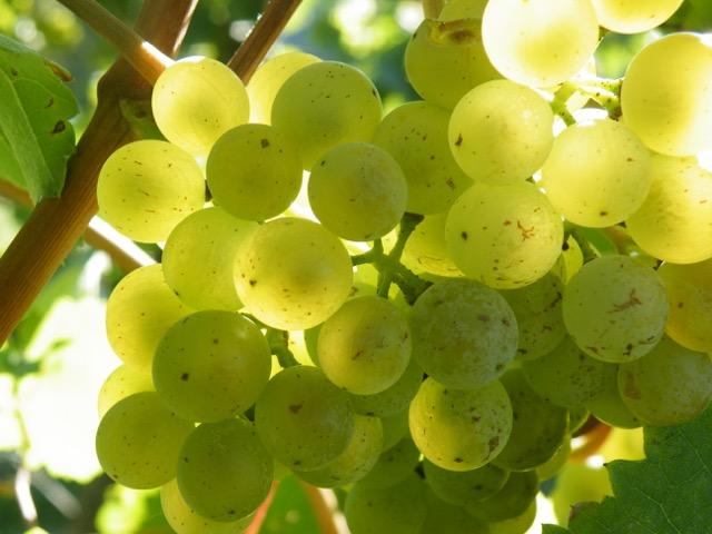 Weinjahrgang 2015 im Weingut Wein von 3 in Franken