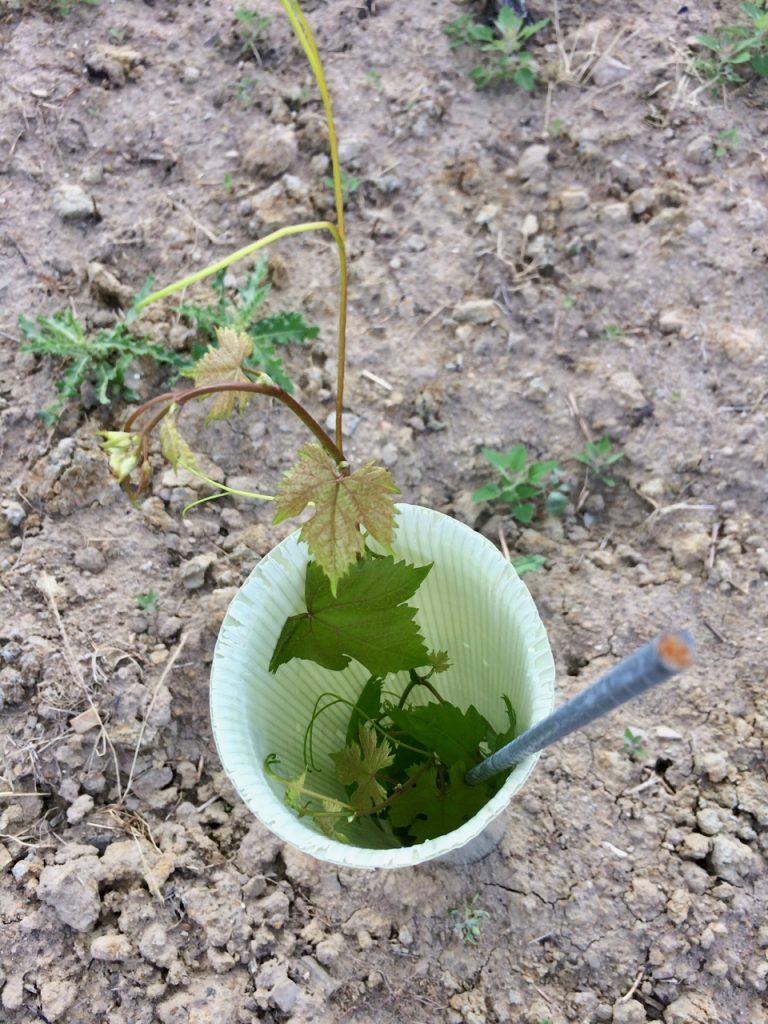 Jungfeld Wein von 3 Neuanpflanzung