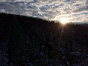 Rebschnitt im Weinberg bei Wein von 3 in Franken