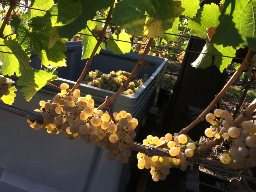 Riesling Weingut Wein von 3 Franken